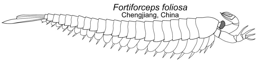 forticorceps