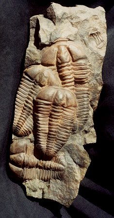 Conocoryphe is an eyeless trilobite